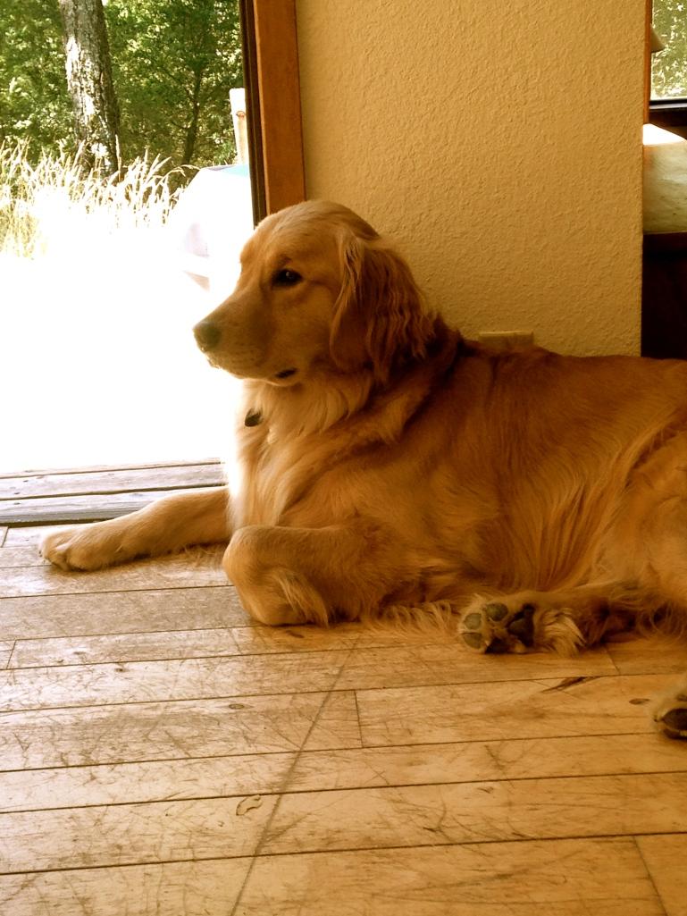 Kinley the Golden Retriever is Feeling Reflective