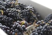 Pinot Noir.1
